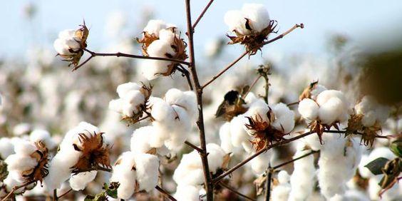 Cây bông sợi cotton